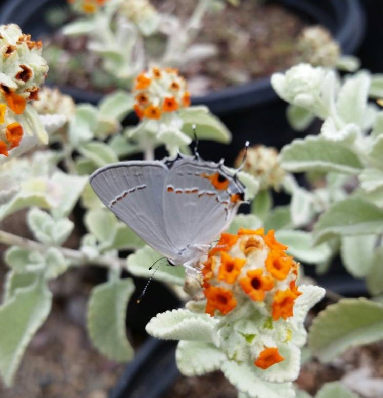 Gray Hairstreak butterfly on Buddleia